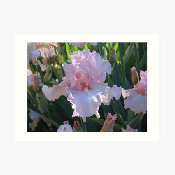 Delicate Pink Iris Art Print
