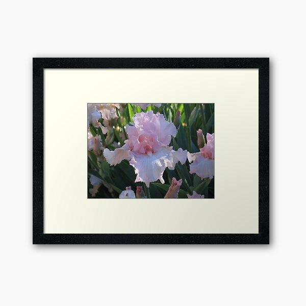 Delicate Pink Iris Framed Art Print