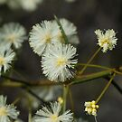 Spreading Wattle by Jay Armstrong
