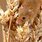 Harvest Mouse (2) by Val Saxby