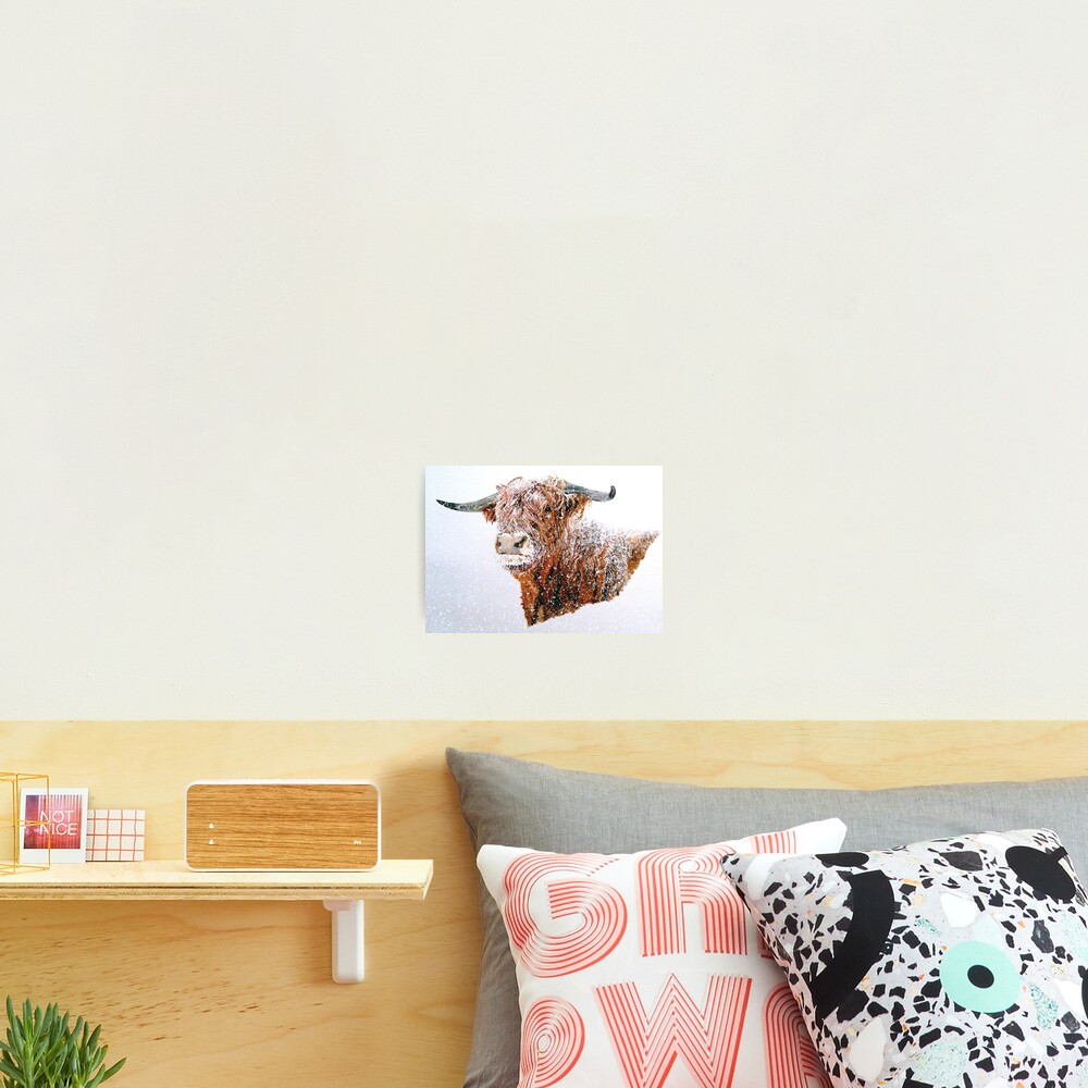 Snowy Highland Cow in Falling Snow - Wall Art Photographic Print