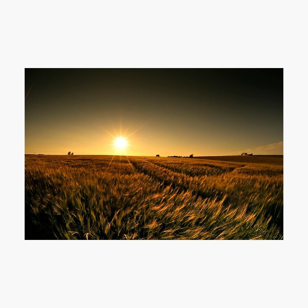 Sunny crop Photographic Print