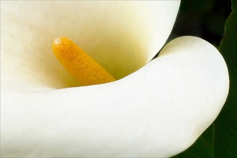 A Calla Lily For Katharine by paintingsheep