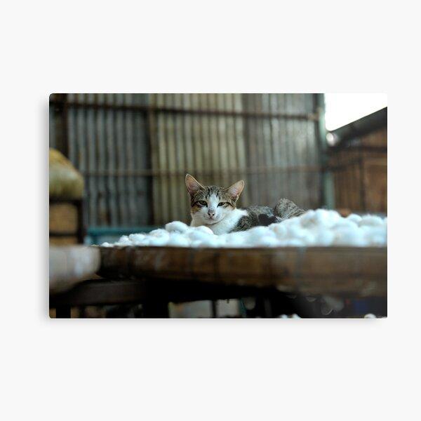 Cat resting on a tray of silkworm cocoons. Da Lat (Dalat), Vietnam Metal Print