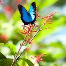 Beautiful Blue - Ulysses butterfly by Jenny Dean