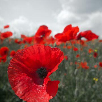 Poppies by Adamsapple