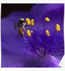 Syrphid Fly On Common Spiderwort Poster