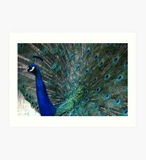 Blue Peacock's feathers Art Print
