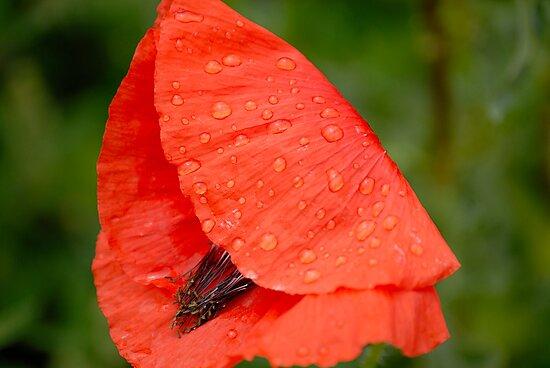 Poppy in the Rain by vbk70