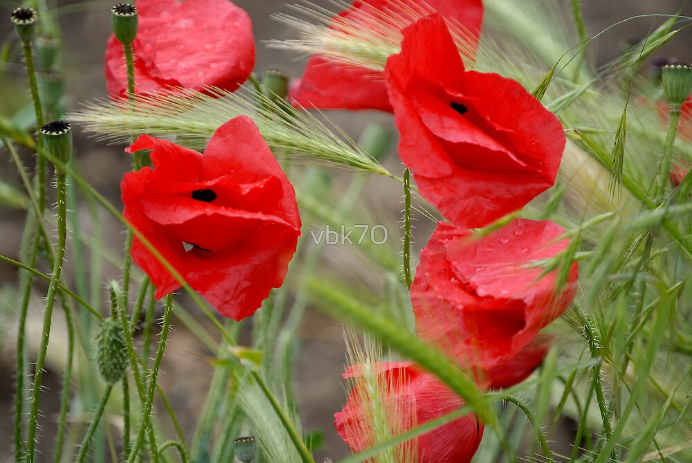 Poppies by vbk70