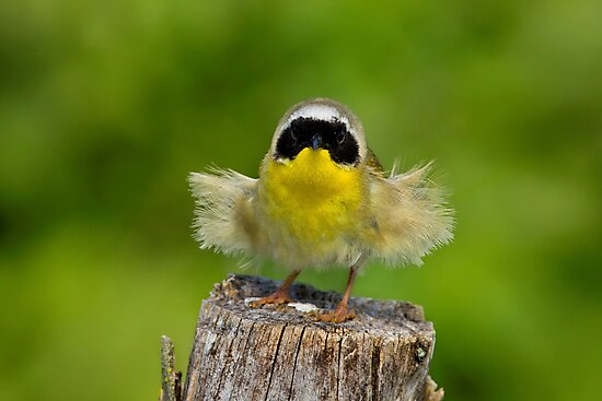 Auntie Em - Auntie Em - Male Common Yellow Throated Warbler by John Absher