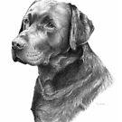 Black Labrador by Redbarron