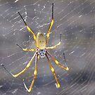 Golden Orb Spider by Liz Worth
