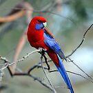 Crimson Rosella. Brisbane, Queensland, Australia. (3) by Ralph de Zilva
