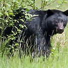 Black Bear Looking at Me  by David Friederich