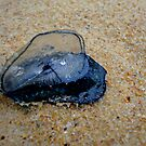 By-the-Wind Sailor aka Velella velella by Of Land & Ocean - Samantha Goode