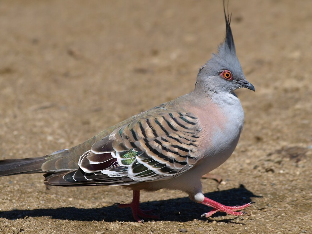 Baby Gifts Canberra Australia : Quot crested pigeon canberra australia by shortshooter al