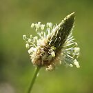 Ribwort Plantain by marens