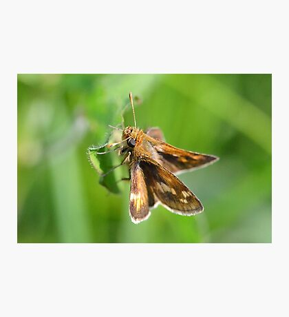 Peck's Skipper Hanging Around Photographic Print