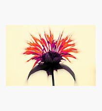 Limited Edition ~ Queen Monarda Photographic Print