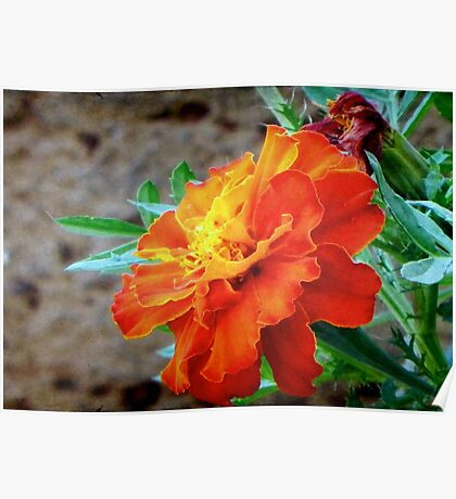This is a Marigold!!! ©  Poster