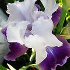 Dandy Iris by MarianBendeth