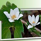 Out of Bounds Bloodroot by Mike Oxley