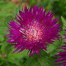 Purple.......? by Lee d'Entremont