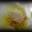Delicate White Rose by Eileen O'Rourke