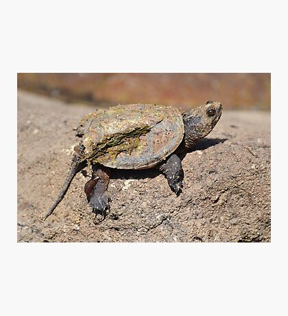 Turtle caked with mud. Photographic Print