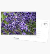 Lavender  Postcards