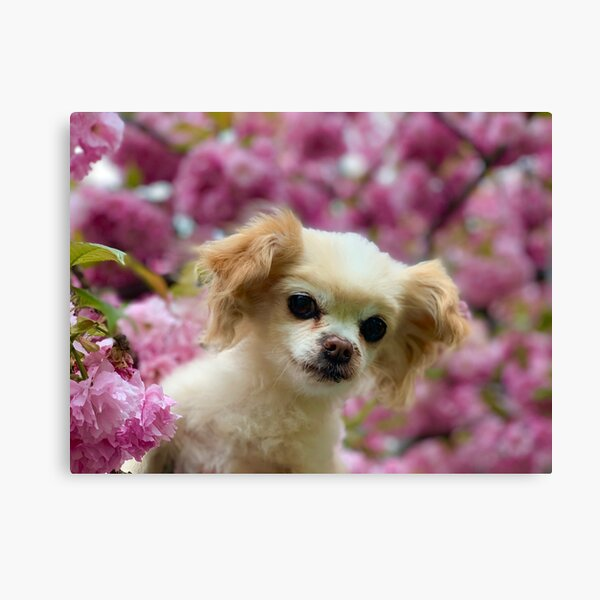 Odis and the Cherry Blossoms Canvas Print
