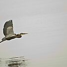 Great Blue Heron in Flight by ArianaMurphy
