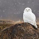Snowy Owl on hay bale by Greg Schneider