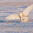 Snowy Owl landing at sunset by Greg Schneider