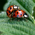 Ladybird Love by cherryannette