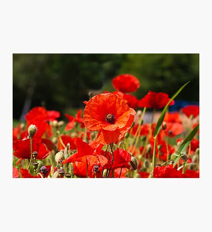 Nature Scape Poppies Photographic Print