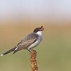Eastern Kingbird 2 by kurtbowmanphoto