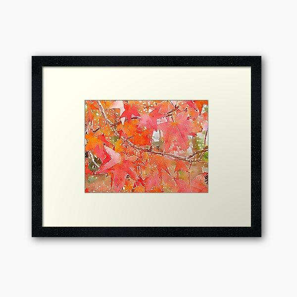 Liquidambar Leaves in Autumn Framed Art Print
