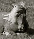 Icelandic Horse by Louise Fahy