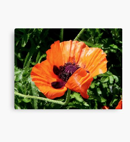 Pretty Poppy... ©  Canvas Print