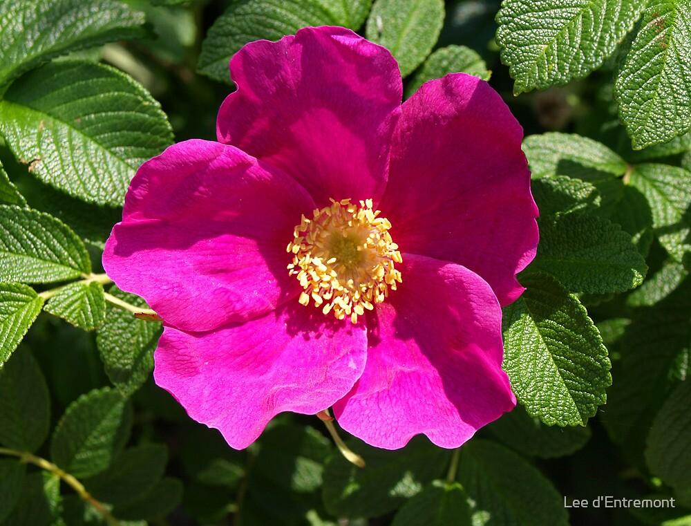 Quot Beach Rose Rosa Rugosa Quot By Lee D Entremont Redbubble