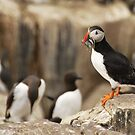 puffin by dinghysailor1