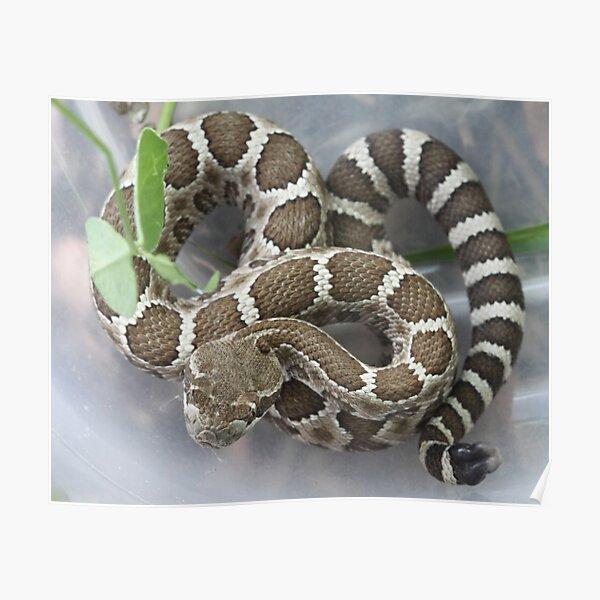 Baby Rattlesnake Poster