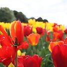 Tulips by Sarah Pidgeon