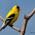 American Goldfinch by Nancy Barrett