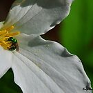 Trillium and Emerald Bee by Nancy Barrett