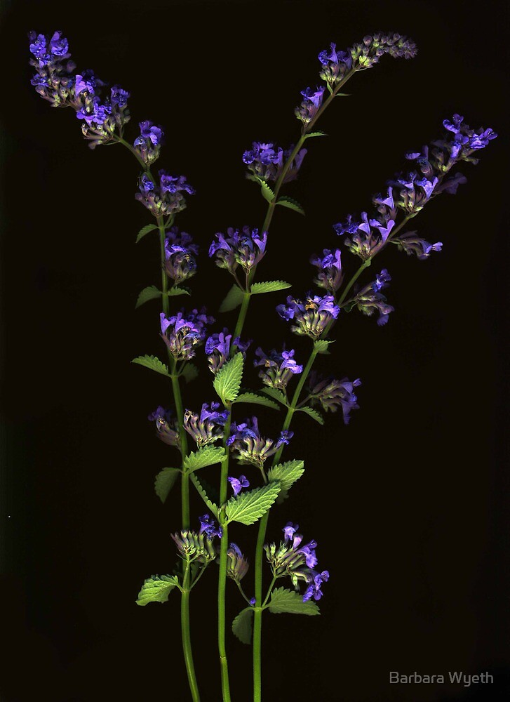 Nepeta Bunch by Barbara Wyeth