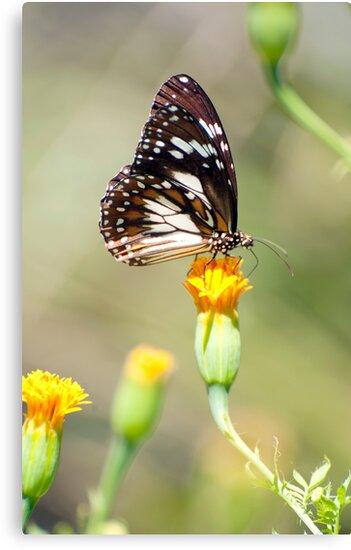 Golden Touch - butterfly feeding. by Jenny Dean
