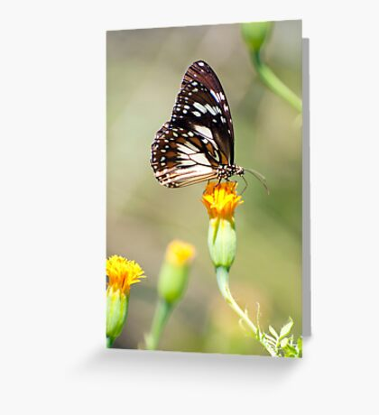 Golden Touch - butterfly feeding. Greeting Card